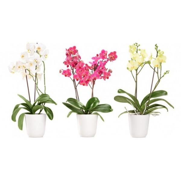 Sevgiliye En Anlamlı Hediye Çift Dal Orkide